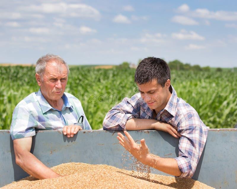 Landwirte, die Weizenkorn betrachten lizenzfreie stockfotos
