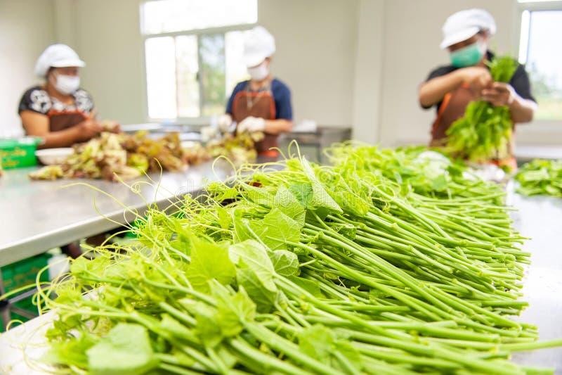 Landwirte einer Frauengruppe, die frische Chayote's-Blätter und anderes Gemüse im Gewächshaus auswählen und verpacken Wang Nam  lizenzfreies stockfoto