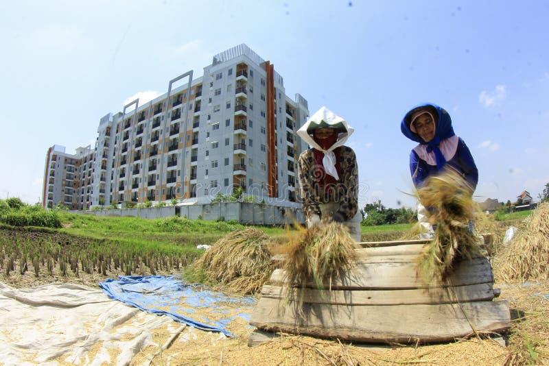 Landwirte entfernen den Reis vom Baum nach Ernte lizenzfreies stockbild