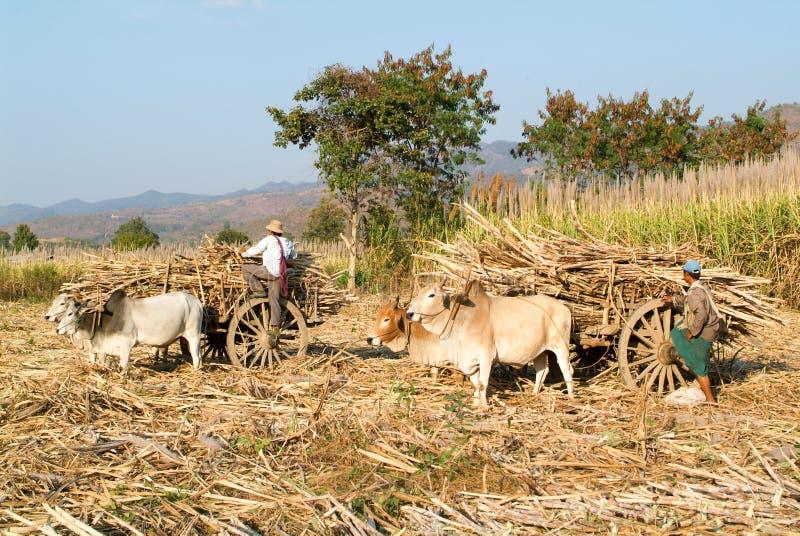 Landwirte mit den Ochsenwarenkörben, zum des Zuckerrohrs nahe See Inle zu ernten lizenzfreies stockfoto