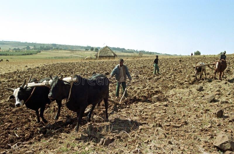 Landwirte pflügen das Feld mit Pflug und Ochsen stockfotografie