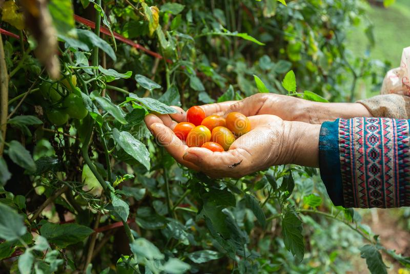 Landwirte pflanzten Tomate auf dem Berg lizenzfreie stockfotografie