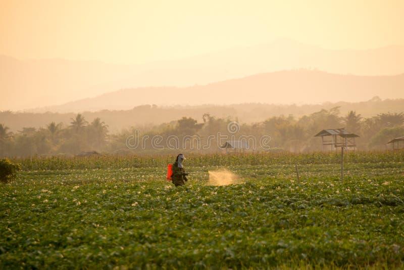 Landwirte sprühen Schädlingsbekämpfungsmittel in den Kartoffelackern lizenzfreies stockfoto