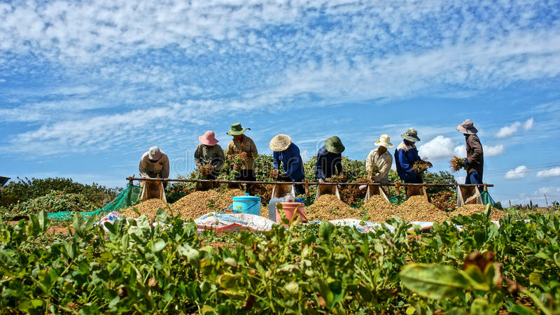 Landwirternteerdnuß. BINH THUAN, VIETNAM 3. FEBRUAR stockfotografie