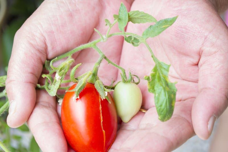 Landwirthände mit kürzlich geernteten Tomaten und Pfeffer lizenzfreie stockbilder