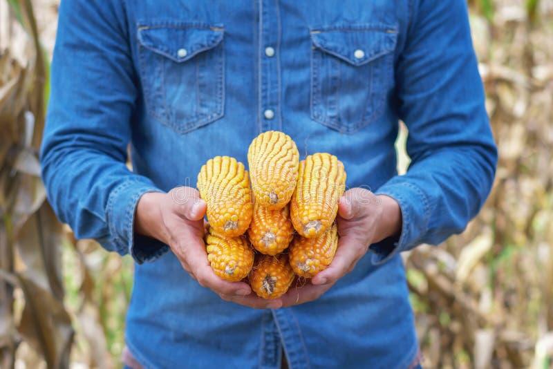 Landwirthand, die reifen Mais hält stockfoto
