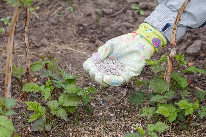 Landwirthand kleidete in einem Handschuh an, der Mineraldünger zum soi gibt lizenzfreies stockbild