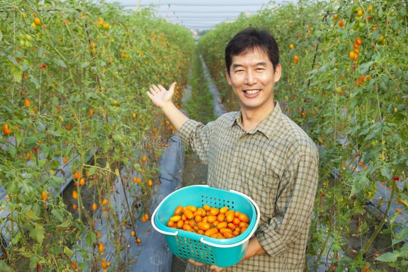 Landwirtholdingtomate auf seinem Bauernhof stockfotografie