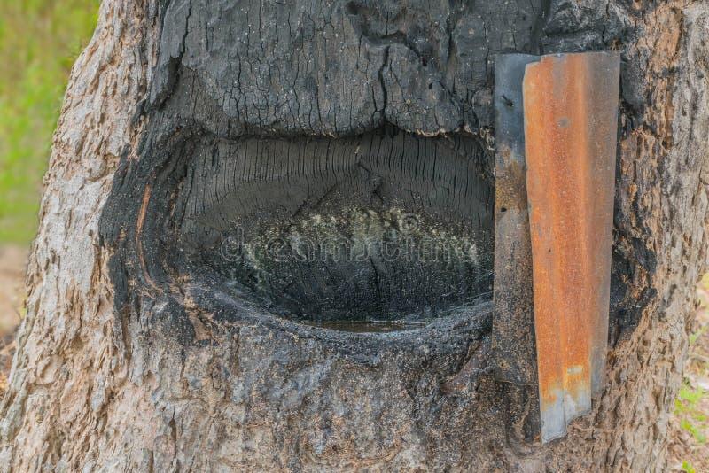 Landwirtpraxis wie zur Extraktion des Öls von der Barkenholzbeschaffenheit von Dipterocarpus-alatus Baum Yang Thais Namen lizenzfreie stockfotografie