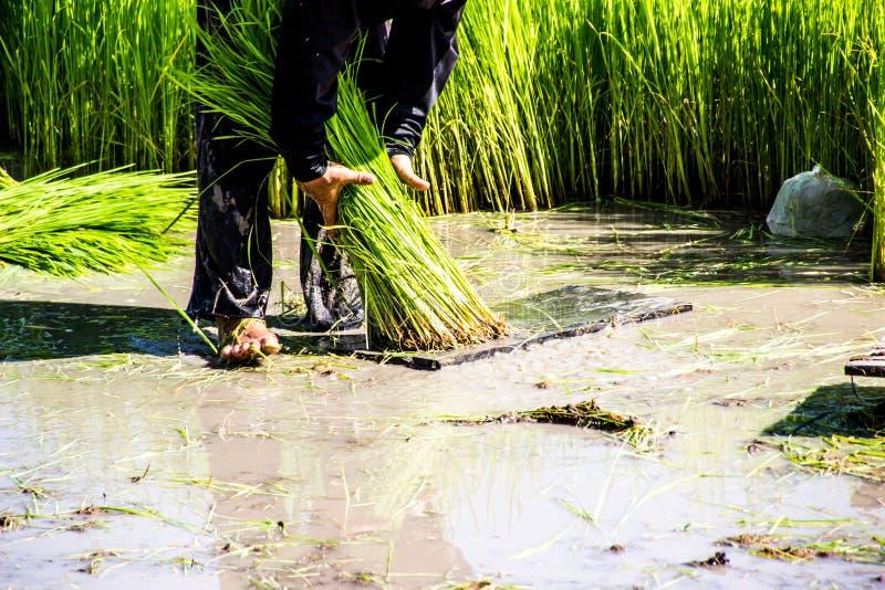 Landwirtreislandwirte bauen Reis, Pflug an stockbild