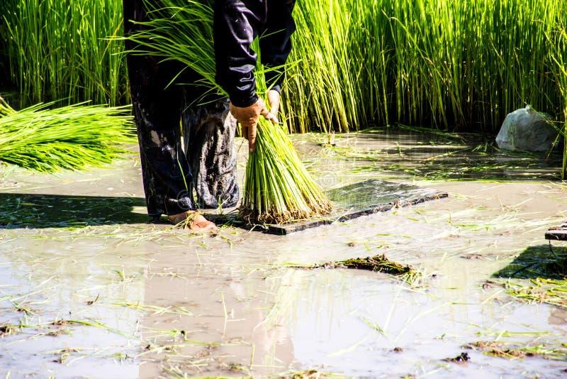 Landwirtreislandwirte bauen Reis, Pflug an lizenzfreie stockbilder
