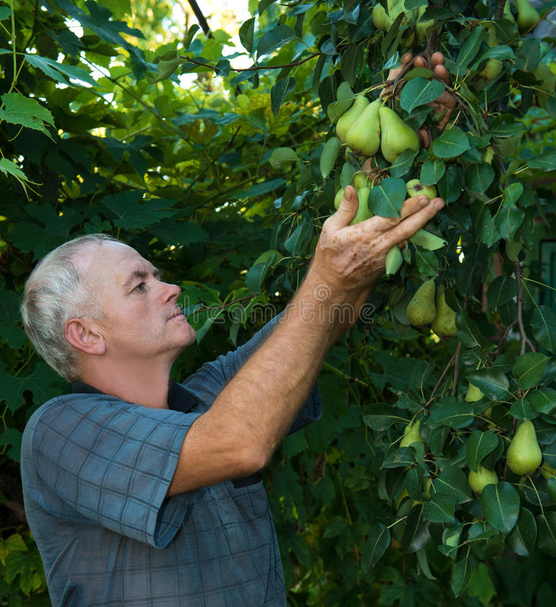 Landwirtsammelnbirnen lizenzfreies stockfoto