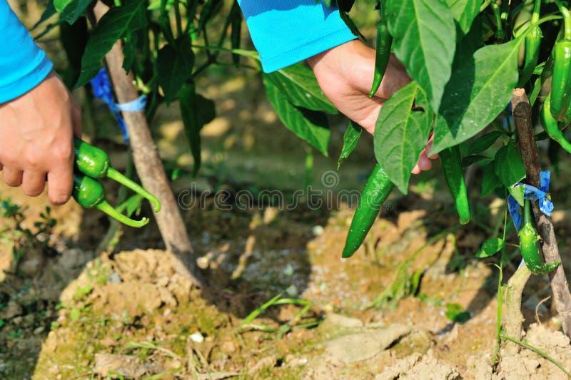 Landwirtsammelngrüner paprika lizenzfreies stockbild