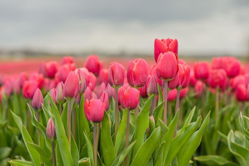 Landwirtschaft - Blumenzwiebeln - Tulpen stockbilder