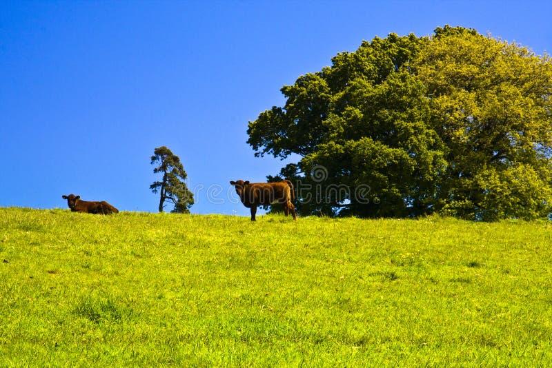 Landwirtschaft des roten karminroten Devon-Viehs lizenzfreies stockbild