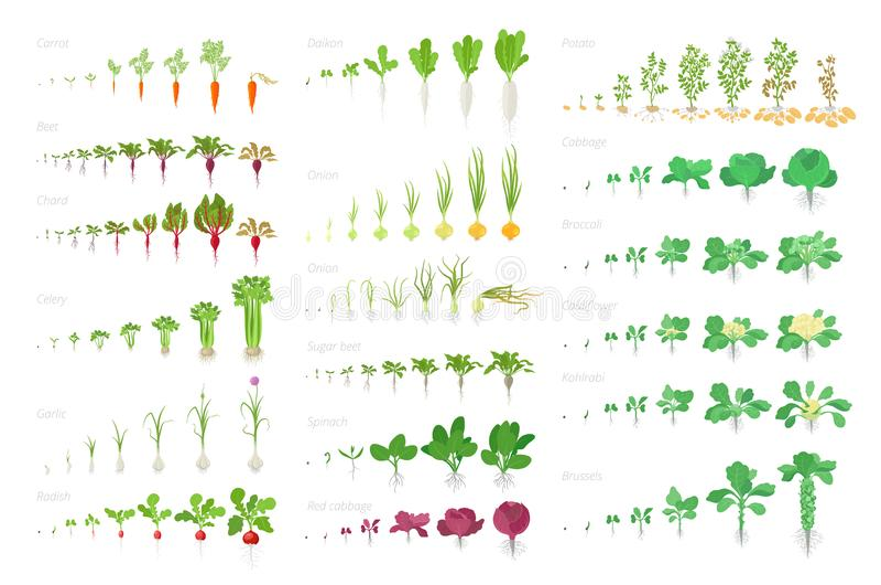 Landwirtschaftliche Anlage des Gemüses, große gesetzte Animation des Wachstums Vektor infographics, welches die wachsenden Anla stock abbildung