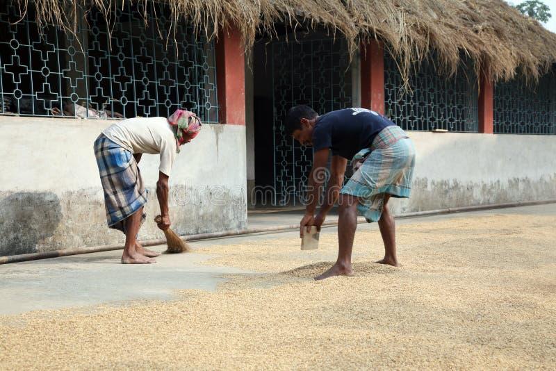 Landwirtschaftliche Arbeitskräfte, die Reis nach Ernte trocknen lizenzfreie stockfotografie