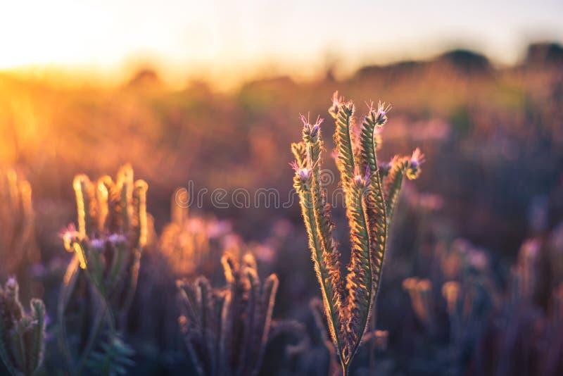 Landwirtschaftliche Felder mit blühendem phacelia Schöne Landschaft auf einem Sonnenuntergang Blumen für Bienen, Imkerei lizenzfreie stockfotografie
