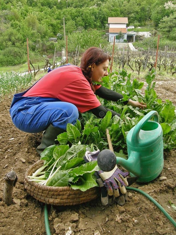 Landwirtschaftliche Frauen ausgewähltes Mangoldgemüse und Gesang eines Lieds lizenzfreie stockfotos