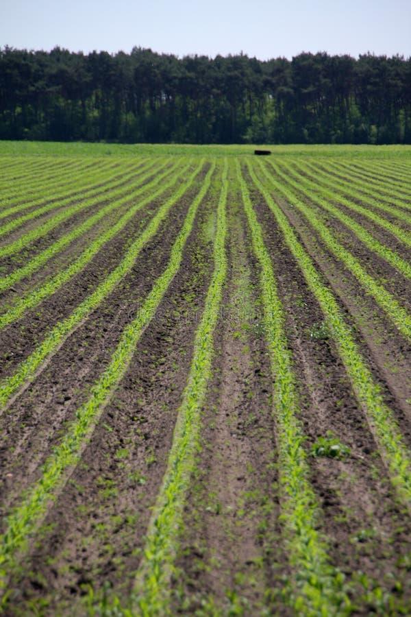 Landwirtschaftliche Getreide lizenzfreies stockfoto