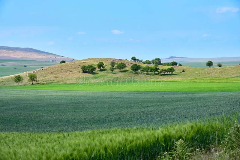 Landwirtschaftliche grüne Weizen- und Roggenfelder, angezeigt auf Schichten, mit einer Gruppe lokalisierten Bäumen auf einem Hüge lizenzfreie stockbilder