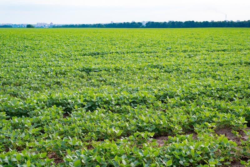 Landwirtschaftliche Landschaft des reifenden Sojabohnenfeldes stockfoto