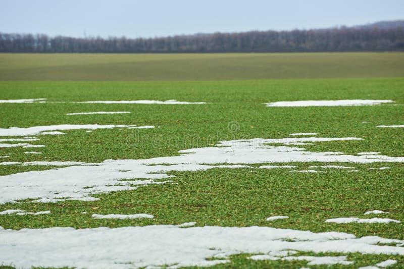 Landwirtschaftliche Landschaft Gr?nes Feld des Winterweizens mit Schneewegen Fr?hling in Ukraine stockbild