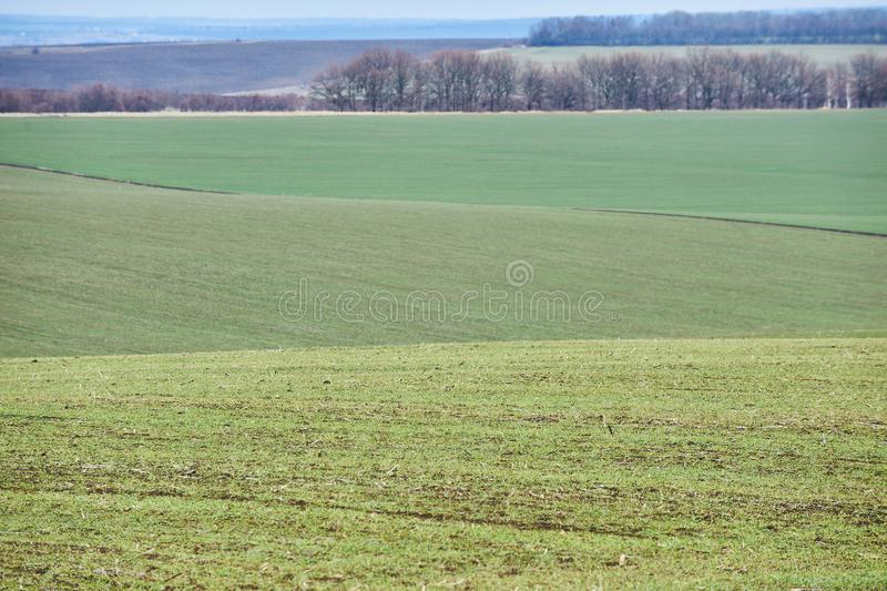 Landwirtschaftliche Landschaft Gr?nes Feld des Winterweizens mit Schneewegen Fr?hling in Ukraine lizenzfreies stockbild