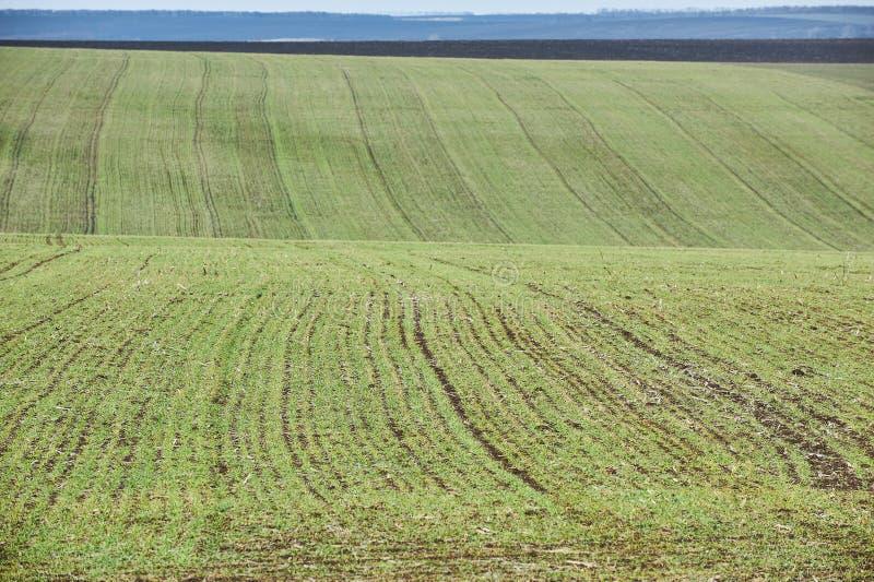 Landwirtschaftliche Landschaft Gr?nes Feld des Winterweizens mit Schneewegen Fr?hling in Ukraine stockfotos