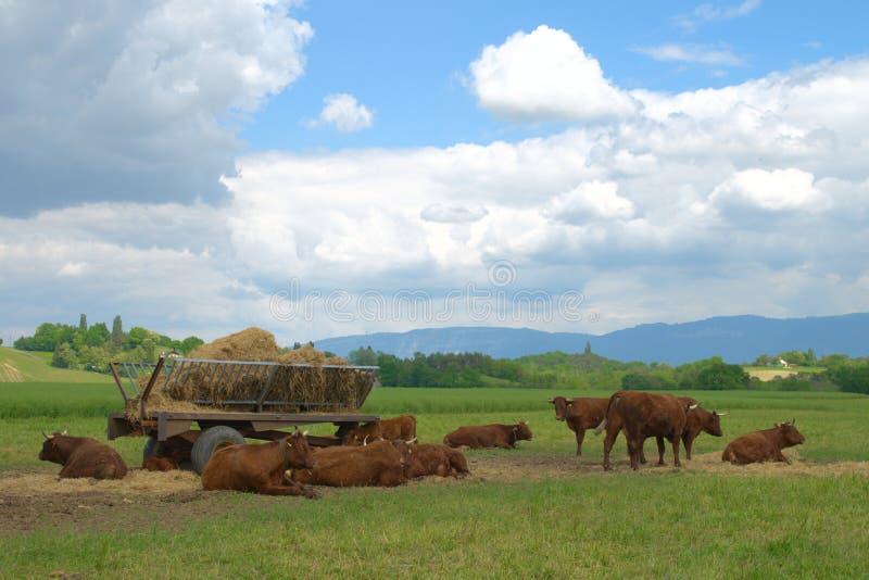 Landwirtschaftliche Landschaft mit Kuhherden stockfoto