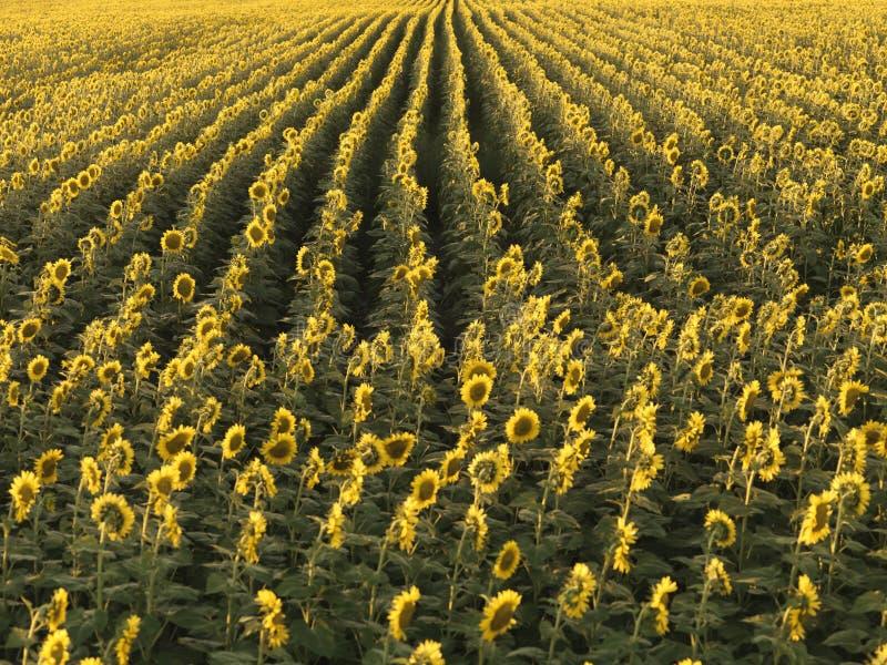 Landwirtschaftliche Sonnenblumen. stockbild