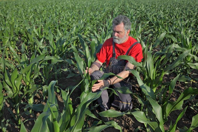 Landwirtschaftliche Szene, Landwirt auf dem Maisgebiet stockbild