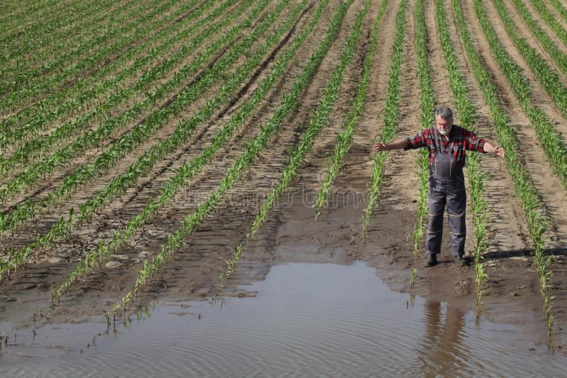 Landwirtschaftliche Szene, Landwirt auf dem Maisgebiet nach Flut stockbild