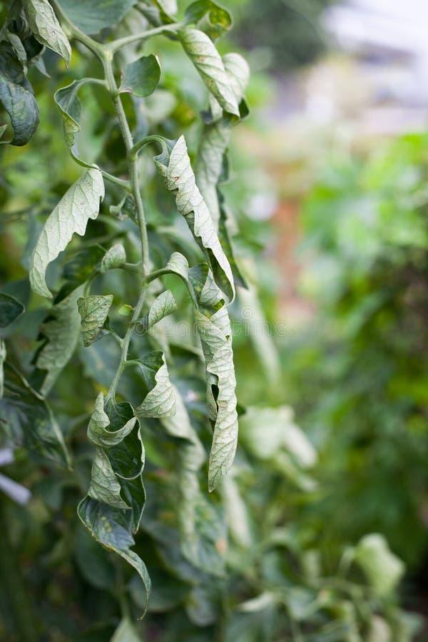 Landwirtschaftlicher Ausfall, gelockte Blätter auf Tomatenbaum durch eine Fülle Stickstoff lizenzfreies stockbild