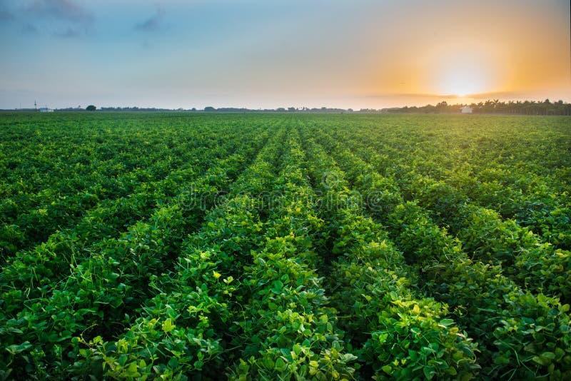Landwirtschaftlicher Industriebauernhof, der genetisch geändertes Lebensmittel auf Feld anbaut stockfotos