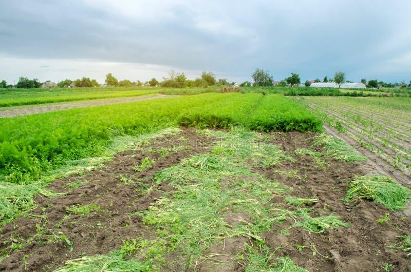 Landwirtschaftliches Feld mit einer teilweise geernteten Karottenernte Saisonbauernhofarbeit Wachsendes umweltfreundliches Gemüse lizenzfreie stockfotografie