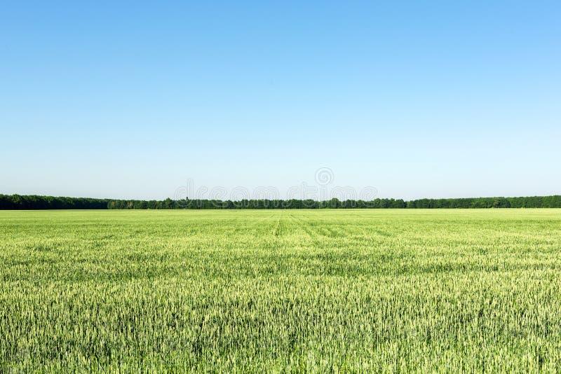 Landwirtschaftliches Feld mit jungen grünen Weizenanlagen Klarer blauer Himmel ohne Wolken auf Hintergrund Gleichgestelltes split stockbild