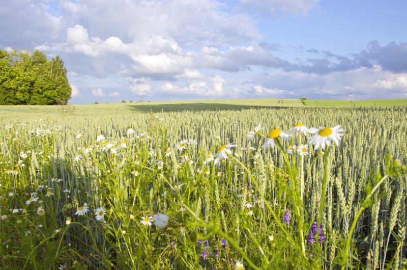 Landwirtschaftliches Feldbetriebsweizenroggen-Korngänseblümchen stockfoto