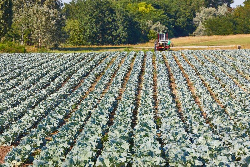 Landwirtschaftliches Kohlfeld stockfoto