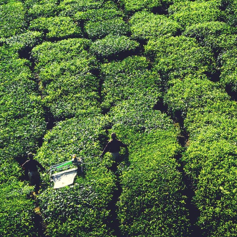 Landwirtschafts-Landwirt-Ernte-Tee-Ernte-Konzept stockfoto