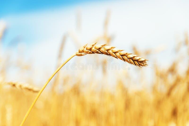 Landwirtschaftsfeld mit goldenem reifem Weizen lizenzfreie stockfotografie