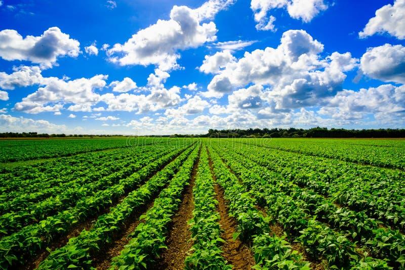 Landwirtschaftsgemüsefeld lizenzfreie stockfotografie