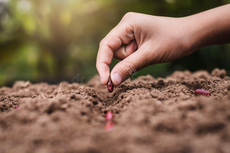 Landwirtschaftshand, die rote Bohnen der Samen pflanzt lizenzfreies stockfoto
