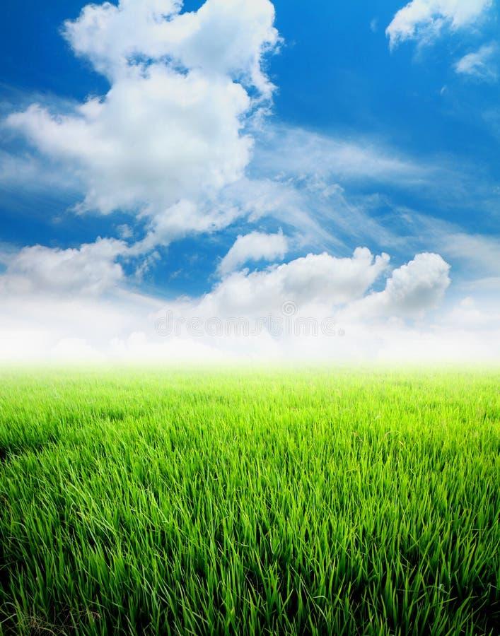 Landwirtschaftspaddyfeld mit blauem Himmel stockbild