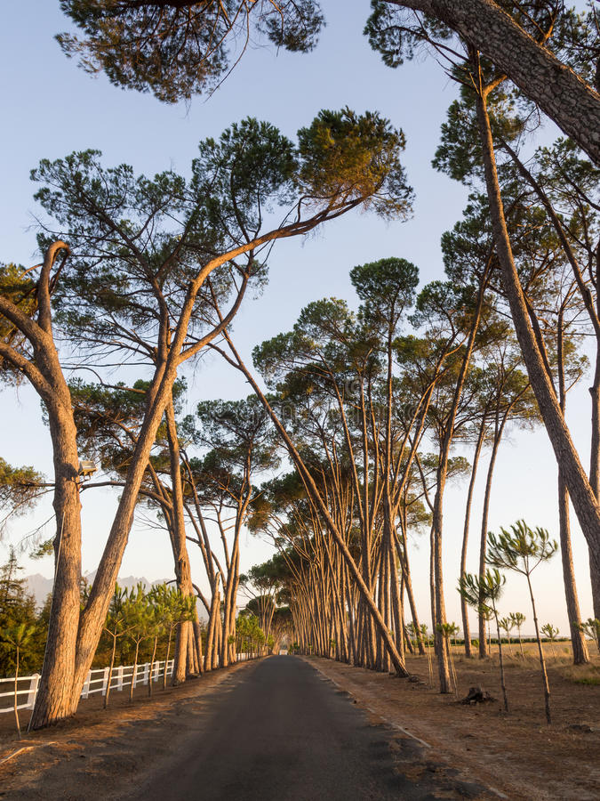 Lane with old trees in sunset light, Stellenbosch, Western Cape, South Africa. royalty free stock images