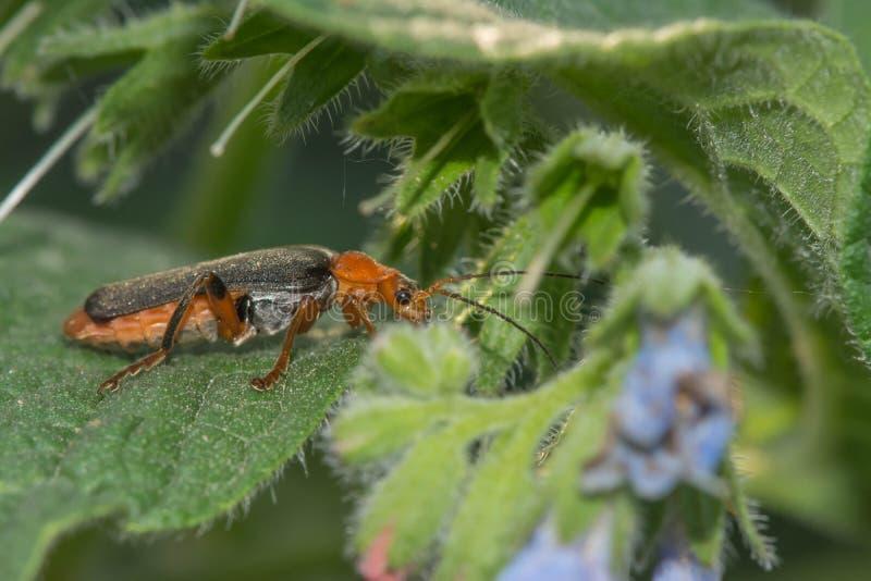 Lang-berechneter Käfer auf weißer Kamille lizenzfreies stockfoto