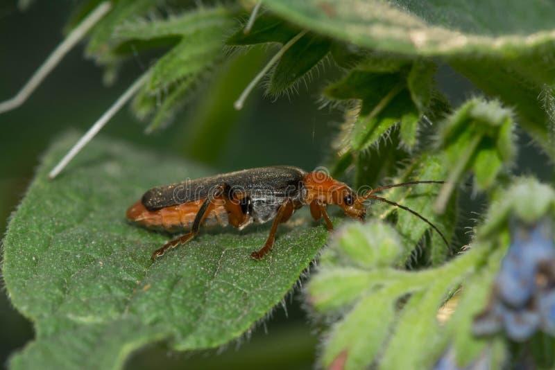 Lang-berechneter Käfer auf weißer Kamille lizenzfreie stockbilder