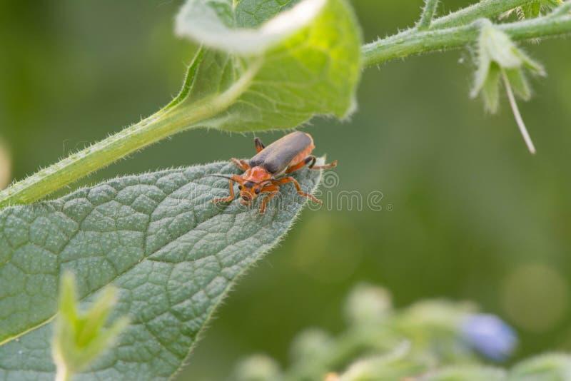 Lang-berechneter Käfer auf weißer Kamille stockbild