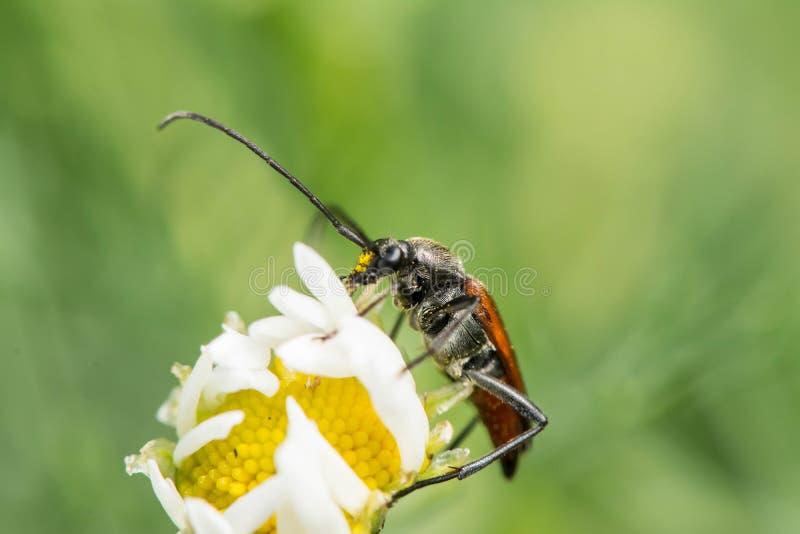 Lang-berechneter Käfer auf weißer Kamille lizenzfreie stockfotografie