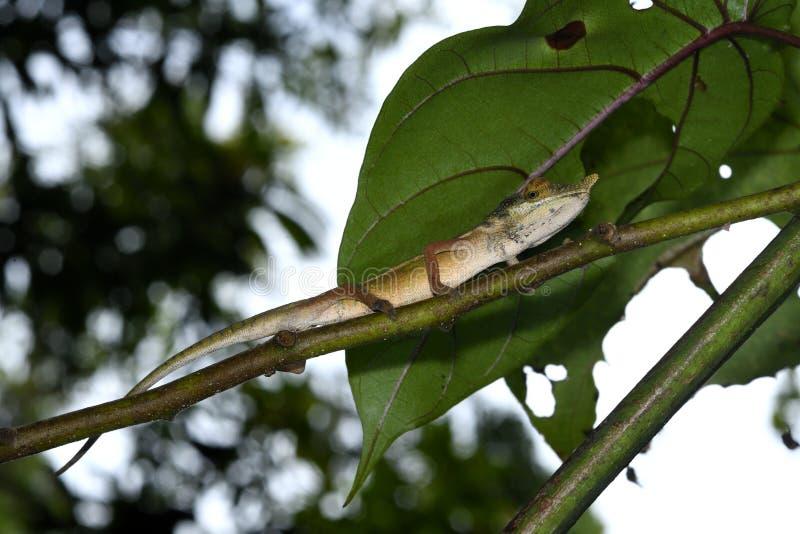 Lang-besnuffelde gallus van Kameleoncalumma in het bos van Bemoeiziek is, Madagascar stock afbeeldingen